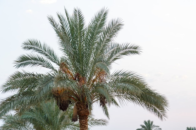Date palms with fruits against the background of the evening sky.