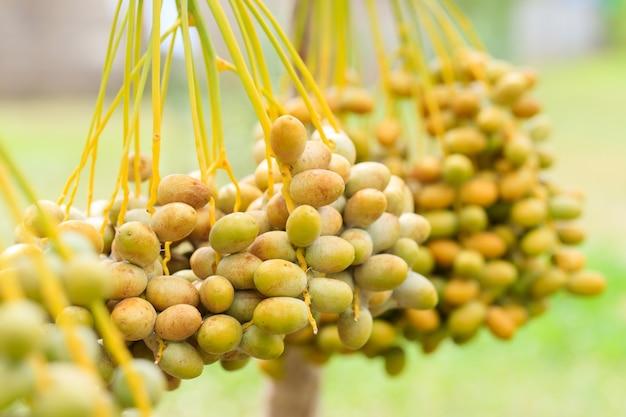 ナツメヤシの枝と熟した日付