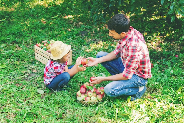 Daughter and father collect apples in the garden
