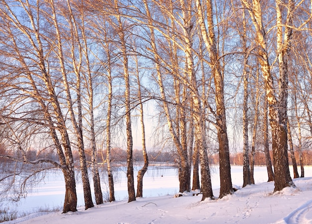 白樺の間の夜明け。雪の吹きだまり、昇る太陽の光線の間の木の幹