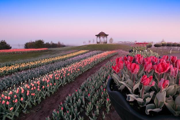 Рассвет в парке, в полях цветут тюльпаны