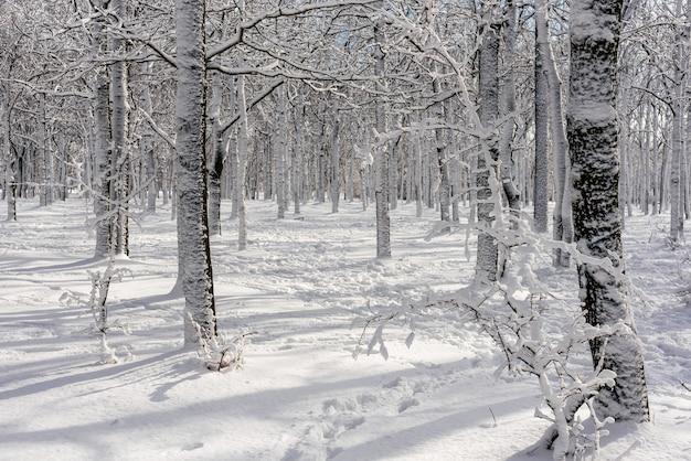 День в лесу в зимний период. зимний пейзаж с заснеженными березками в парке. деревья в снегу.