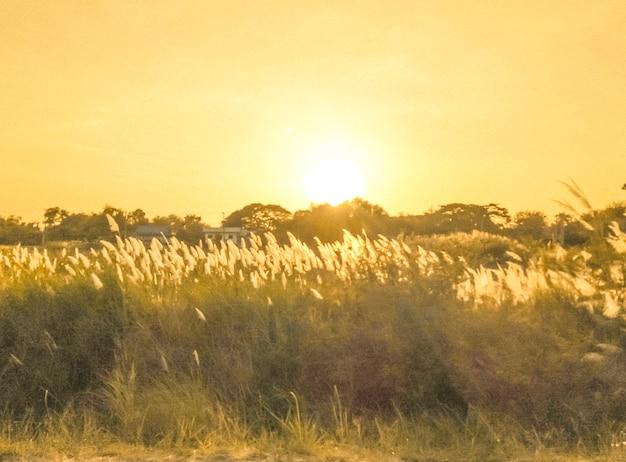 De focus 불명확한 잔디 꽃은 아침에 황금빛 햇살과 함께 바람에 날립니다. 시골의 꽃밭. 오렌지 초원 배경입니다. 야생 초원 잔디입니다. 봄 여름 자연 배경