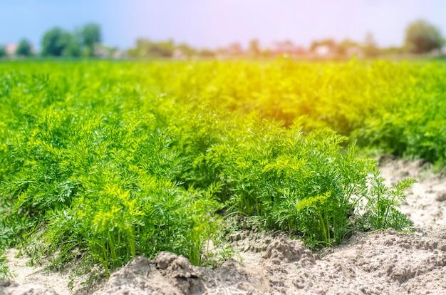 若いニンジンが土壌のクローズアップで育つ。農業、環境に優しい農産物、de