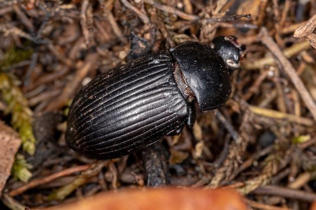 Dead adult darkling beetle of the family tenebrionidae