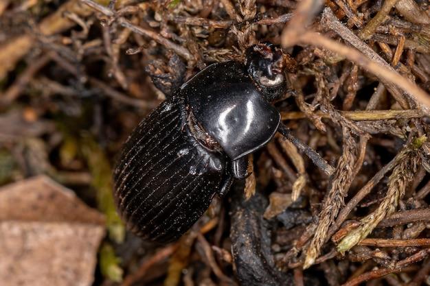 Tenebrionidae 가족의 죽은 성인 darkling 딱정벌레