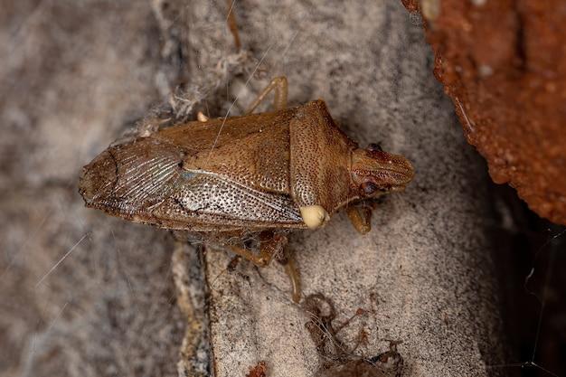 Dead adult stink bug of the genus oebalus