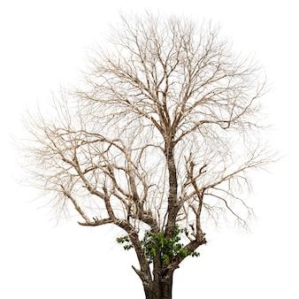 白で隔離の枯れ木と乾燥木
