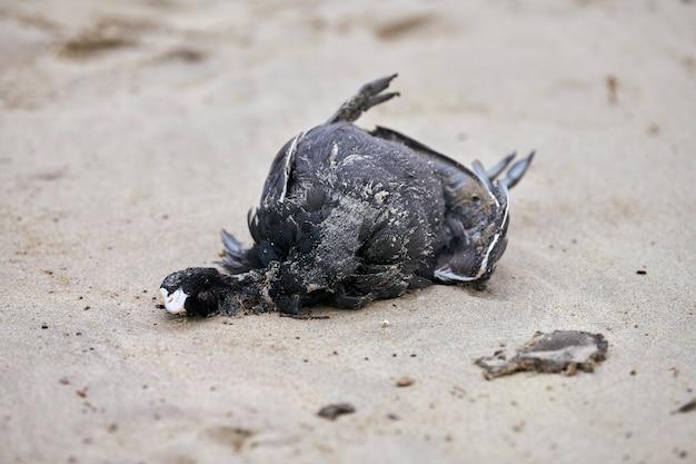 汚染された砂浜での鳥の死体、ユーラシアまたはオーストラリアのオオバン、fulicaatra。プラスチックを消化した魚を食べる海鳥。海洋野生生物の中毒と殺害。
