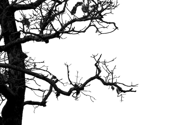 Dead branches, silhouette dead tree or dry tree on white background with clipping path.
