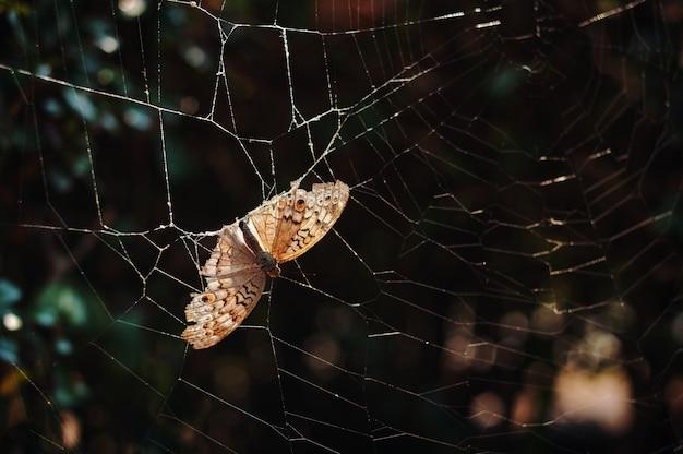 クモの巣に立ち往生している死んだ茶色の蝶