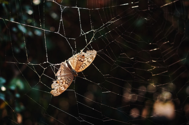 Dead brown butterfly stuck on a spider web