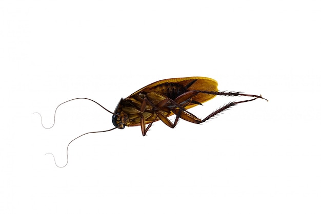 Мертвый таракан на белом фоне