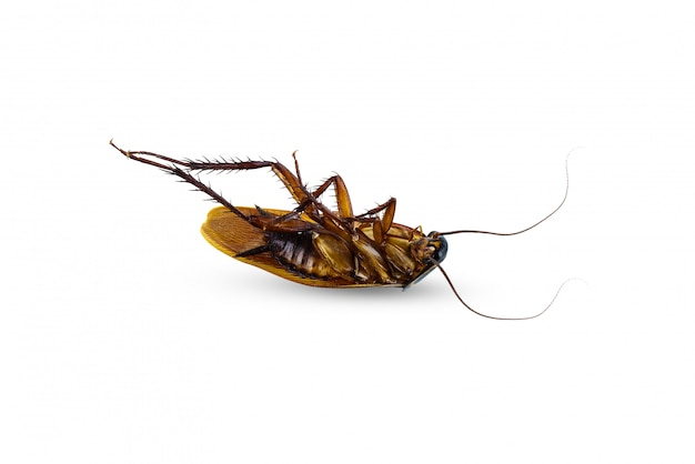 Dead cockroach supine upside isolated on white