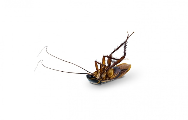 Dead cockroach supine upside isolated