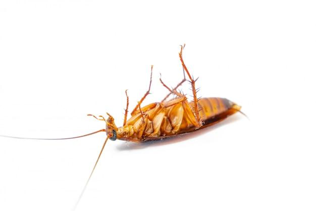 Dead cockroach on white