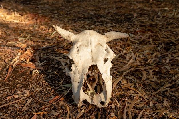 일몰에 죽은 암소 두개골