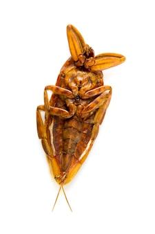 Мертвый сушеный таракан, изолированные на белом фоне