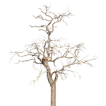 Dead and dry tree isolated in white