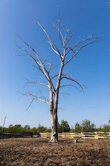 Dead dry tree on the territory of the ranch with animal manure.