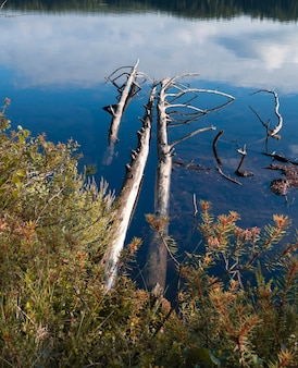 Мертвые сухие стволы деревьев в озере