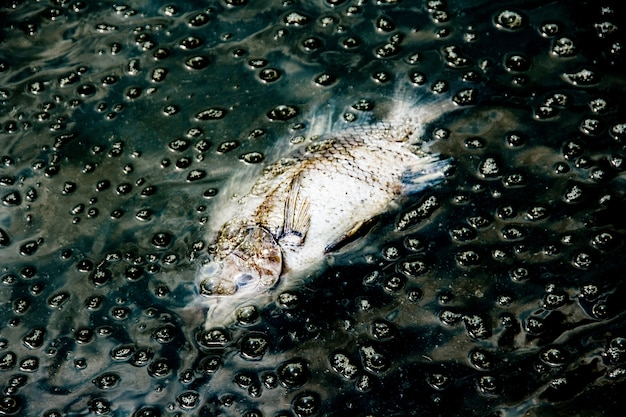 Dead fish on dark waste water from river contaminant chemical from industry plant