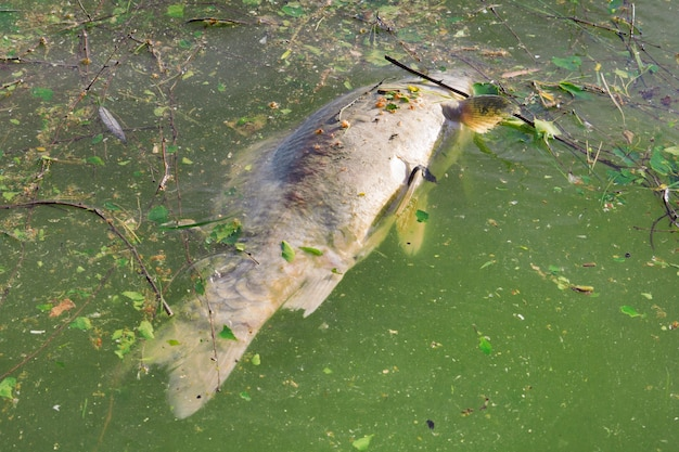 Мертвая рыба плавает в зеленой мутной воде