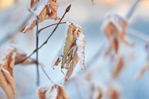 Dead leaves in the snow against the setting sun. a gentle winter sunset