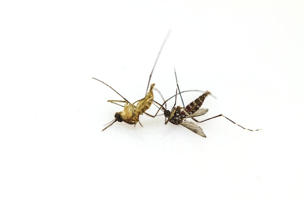 Dead mosquito lie-down on white background close up Premium Photo
