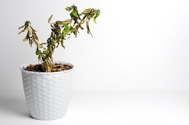 Мертвое растение в горшке. концепция неправильного ухода за комнатными растениями.