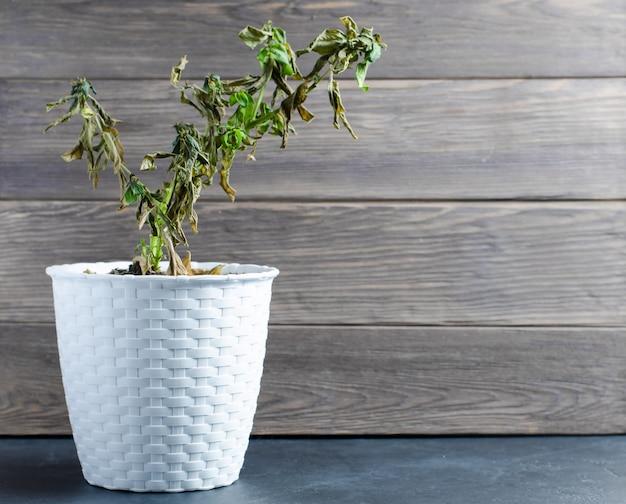 鍋に枯れた植物。観葉植物の不適切なケアの概念。