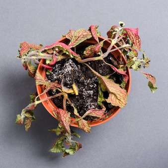 Dead plant in a pot. fittonia. on a gray background.