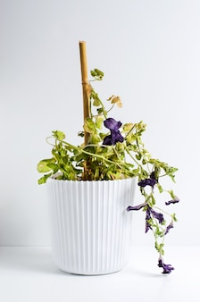 Dead plant in a pot. petunia. the concept of improper care of houseplants.