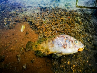 Dead, poisoned fish lies on the river bank. Environmental pollution. The impact of toxic e