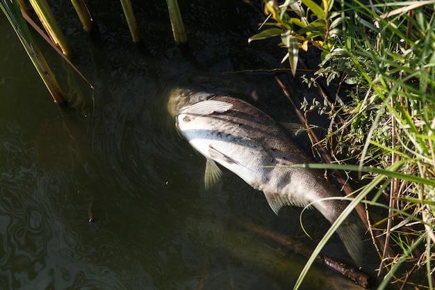 汚染された湖の岸で死んだ腐った魚。魚は異常な熱に耐えることができず、酸素不足で死にます。