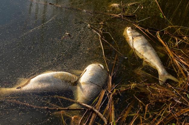 汚染された湖の岸で死んだ腐った魚。
