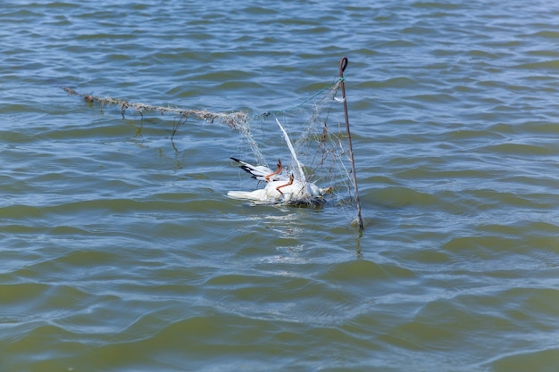 Dead seagull hit the fishing nets, dead bird because of the people