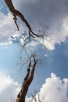 The dead standing tree background blue sky and clouds.