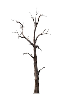 Dead tree or dried tree isolate on white