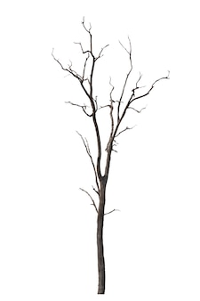 Dead tree or dried tree isolated on white.clipping path.