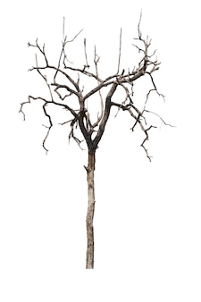 Dead tree or dried tree isolated on white