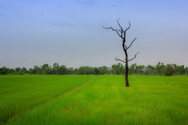 Dead tree over green rice fields in morning, thailand
