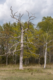 A dead tree stands alone in a forest in spring. central sweden.