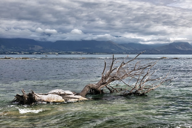 Dead tree in the water at kiakoura bay