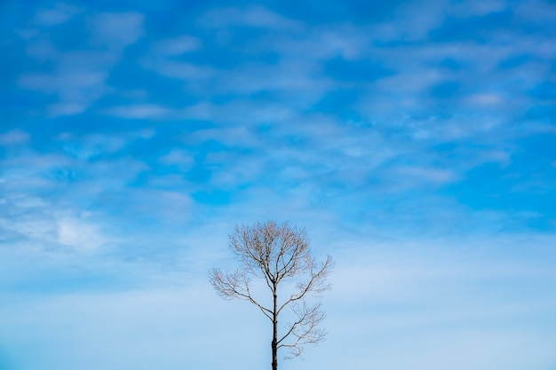 The dead tree with blue sky