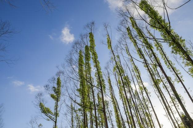 죽은 나무는 푸른 하늘과 흰 구름을 배경으로 녹색 텡 식물로 덮여 있다