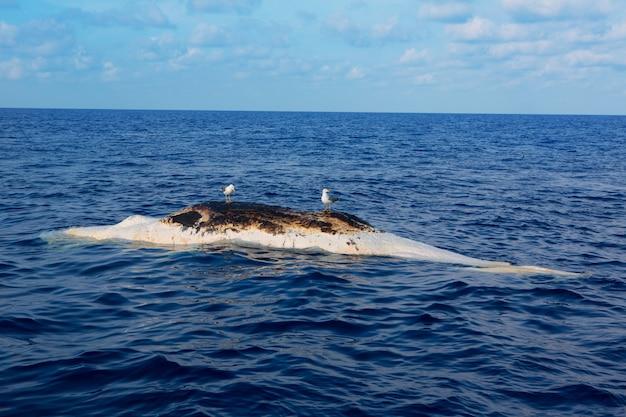 Dead whale upside down floating in ocean sea