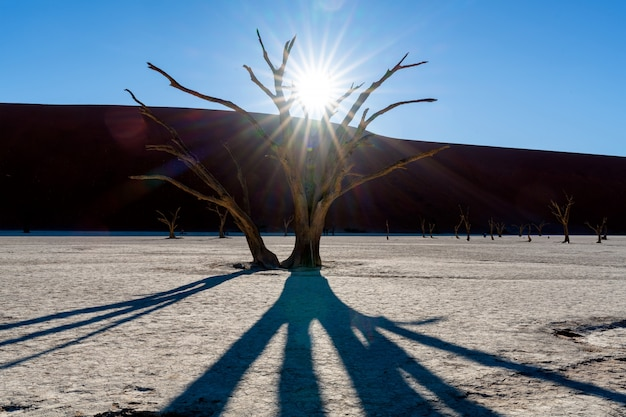 Deadvlei in namib-naukluft national park sossusvlei in namibia - dead camelthorn trees against orange sand dunes with blue sky.
