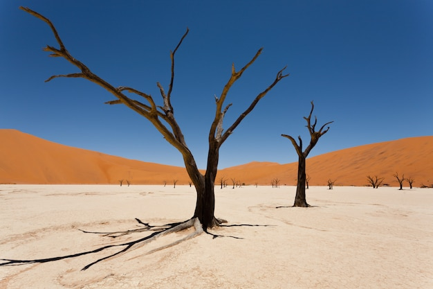 死んだvlei、ソススフレイ、ナミビアの砂漠での死の木