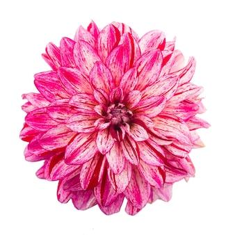 白い背景で隔離のピンクのダリアの美しい花